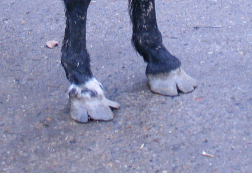 Overgrown hooves - now in the safey of the ILPH